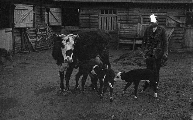 [Cow belonging to Mr. W. Emberton of Berriew has produced triplets]