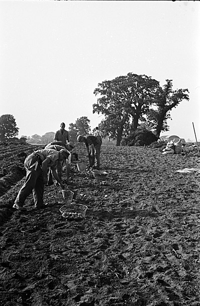 Lifting potatoes with a two-horse team at Prees, Whitchurch