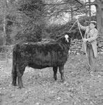 Welsh Black Cattle Society Sale, Dolgellau