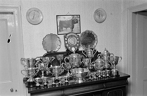 Cups and prizes displayed on a table, possibly won for breeding Welsh Black cattle