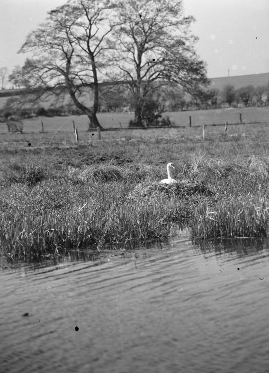 Al [A nesting swan]