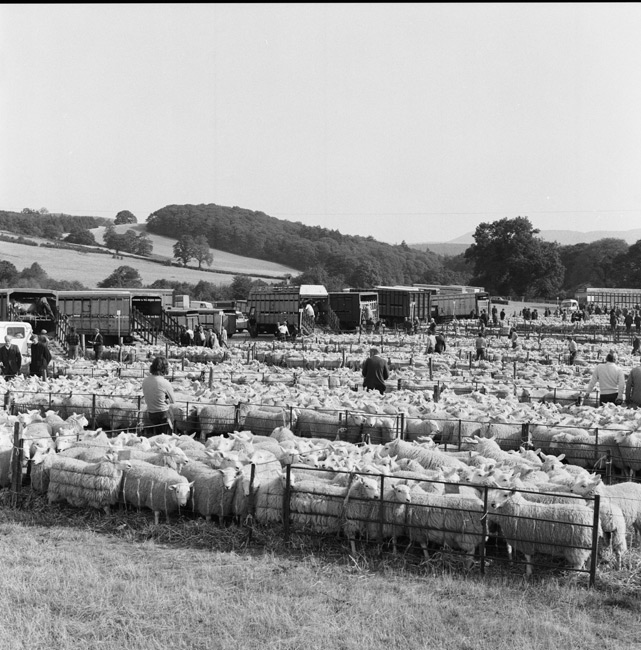 Welsh Half Breed Sheep Sale, Rhuthun