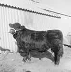 Y Welsh Black Cattle Society 49th Annual Autumn Show