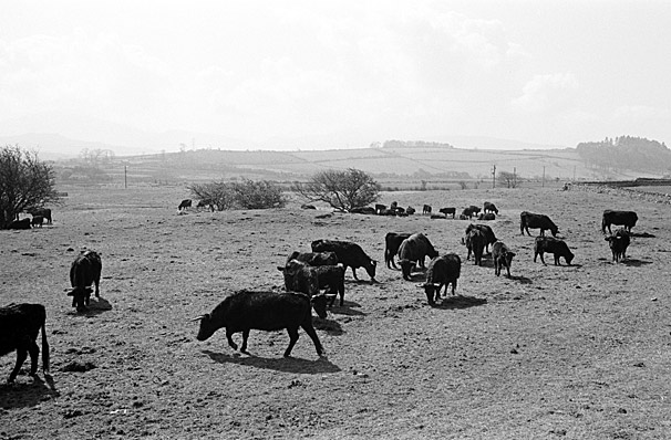 Welsh Black cattle herd
